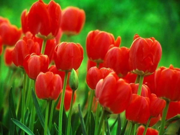 Ý nghĩa của hoa tulip vàng – sự nổi tiếng và hoàn hảo